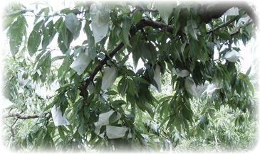 桃の直販:白桃