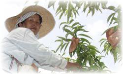 桃の直販 生産者イメージ